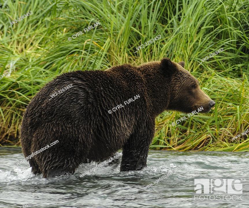 Stock Photo: Female brown bear standing in a salmon stream, Katmai National Park Alaska.