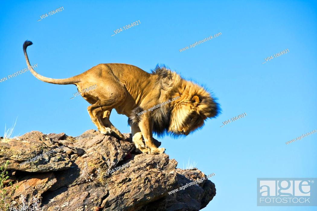Stock Photo: A male lion (Panthera leo) standing on top of a cliff in Namibia, Africa.