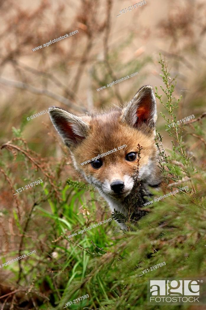 Stock Photo: BABY RED FOX vulpes vulpes IN NORMADY.