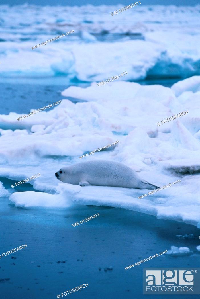 Stock Photo: Seal On Ice Floe.