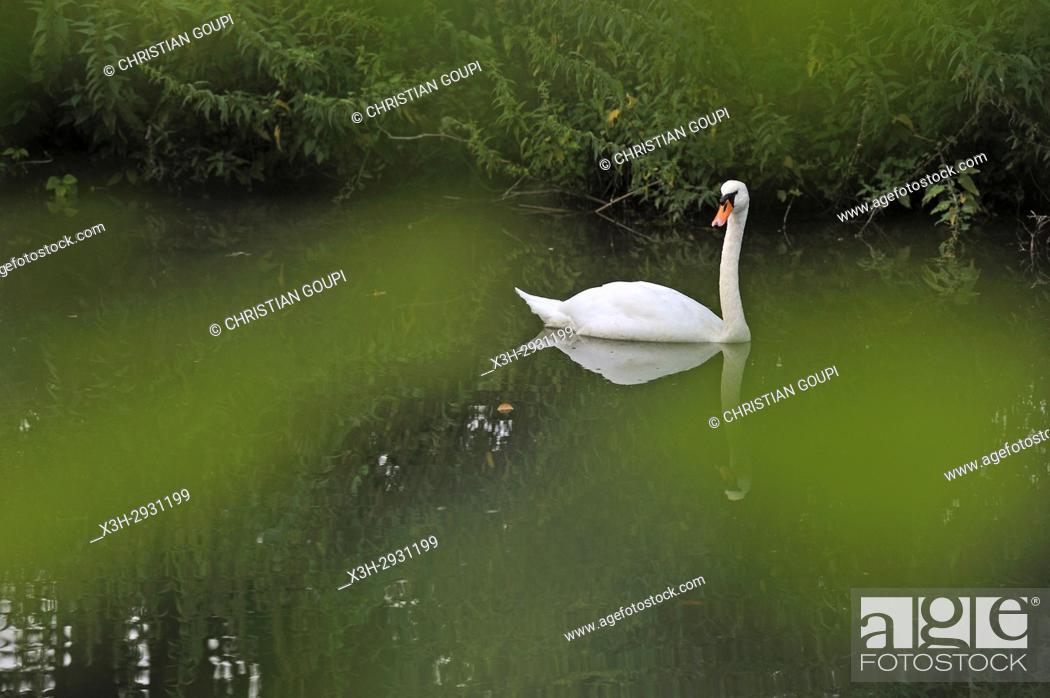 Stock Photo: swan on Eure River, Eure-et-Loir department, Centre-Val de Loire region, France, Europe.