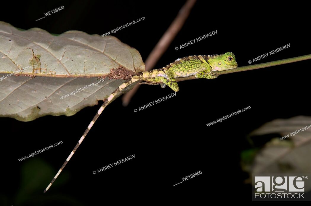 Stock Photo: Chameleon Forest Dragon or Chameleon Anglehead Lizard (Gonocephalus chamaeleontinus) Kubah National Park, Sarawak, Malaysia.