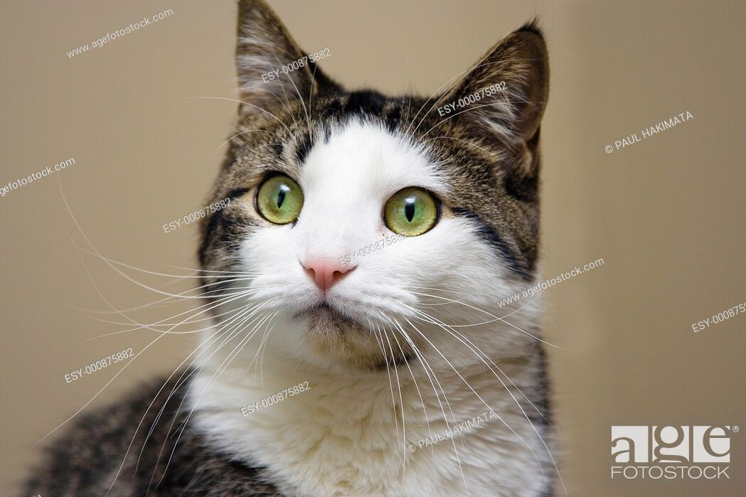 Stock Photo: Tabby with white cat and bright green with yellow eyes looking  Head shot on beige like background.