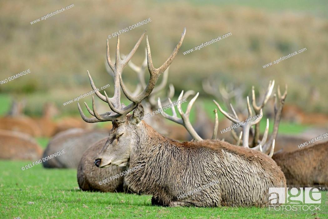 Stock Photo: France, Moselle, Animal Park Saint Croix, Rhodes, red deer (Cervus elaphus), male at rest.