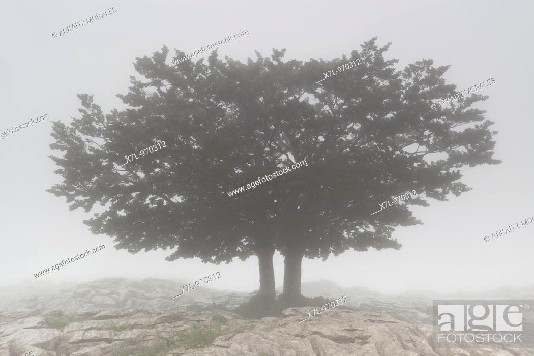 Stock Photo: Tree in fog. Campa de Arraba, Gorbea Natural Park, Biscay, Basque Country, Spain.