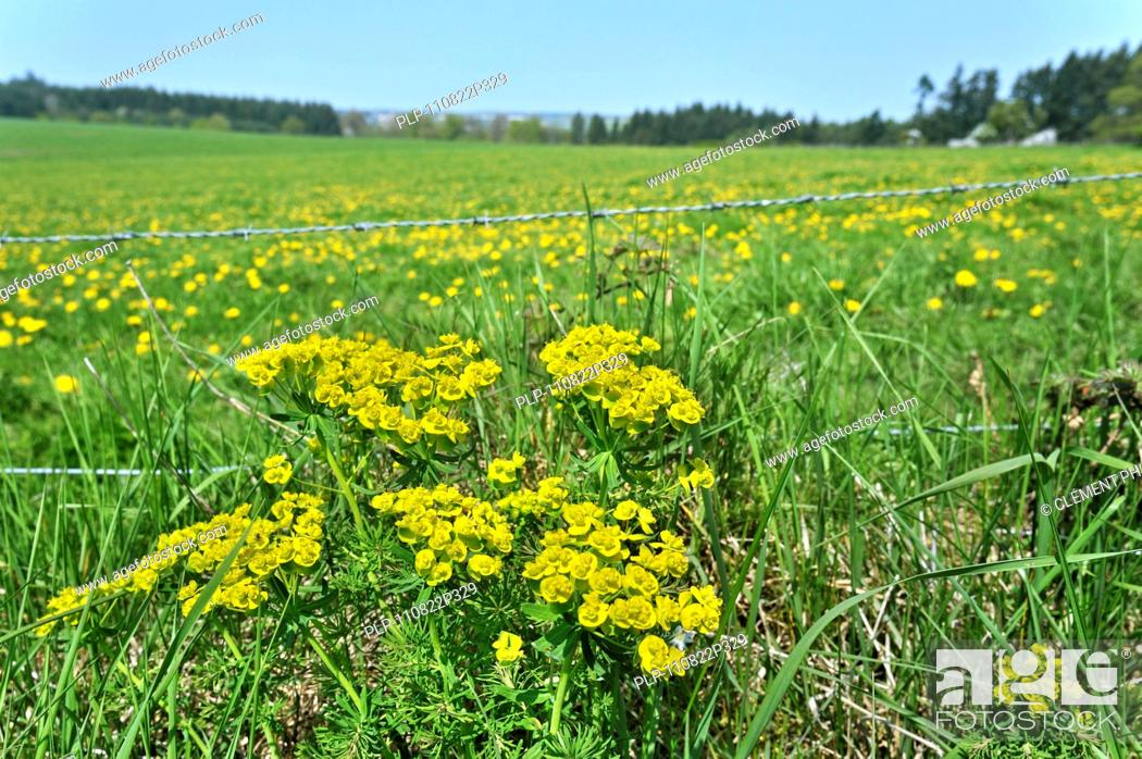 Stock Photo: Cypress spurge Euphorbia cyparissias in flower along meadow, Luxembourg.