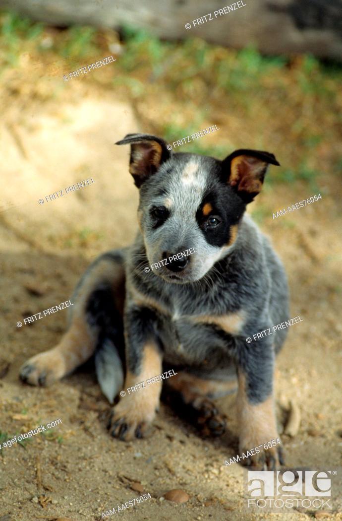 Stock Photo: Australian Blue Cattledog Puppy.