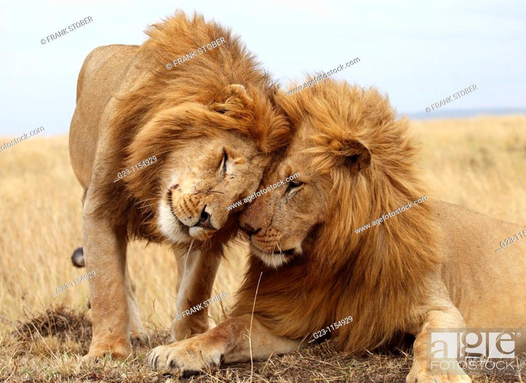 Stock Photo: Big male lion.