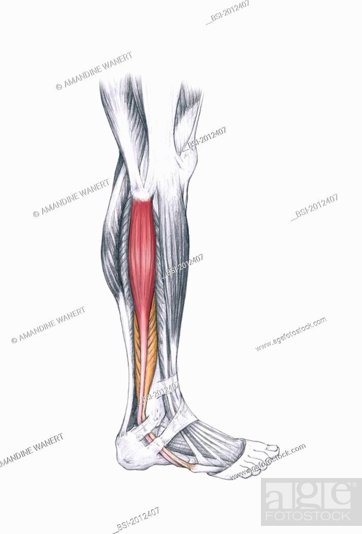 Leg Drawing Long Fibular Muscle And Short Fibular Muscle Of The Leg