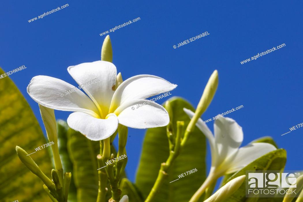 Imagen: White with yellow center Plumeria blossoms are also known as Lei flowers and Frangipani and used to make traditional Hawaiian leis aganist a blue sky.