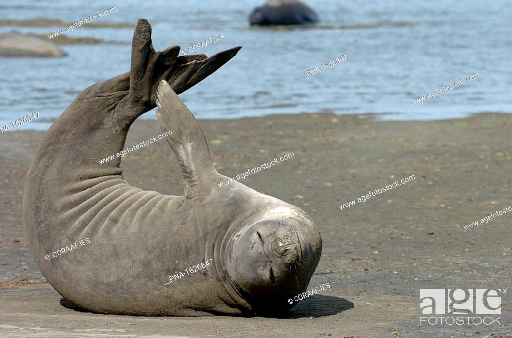 Imagen: Elephant seal stretching while sunbathing on the beach on the Valdes Peninsula, Argentina.