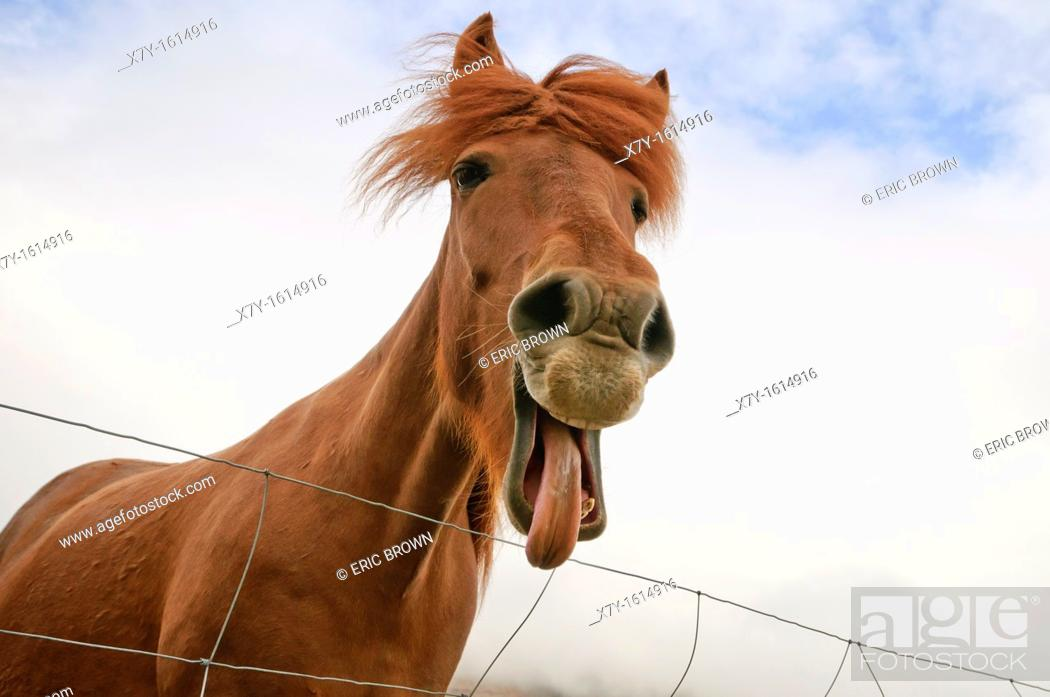 Stock Photo: An Icelandic horse makes funny facial expressions.
