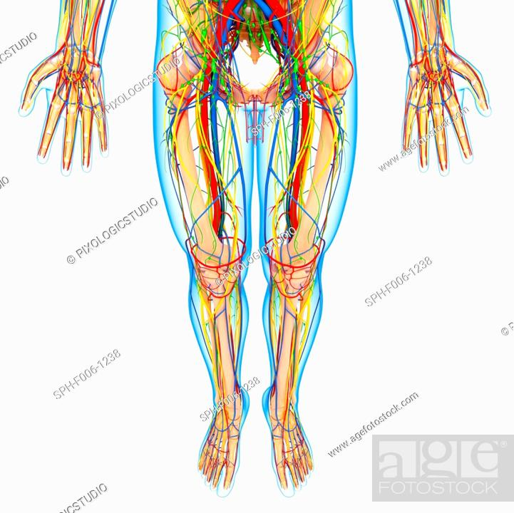 Lower Body Anatomy Computer Artwork Stock Photo Picture And