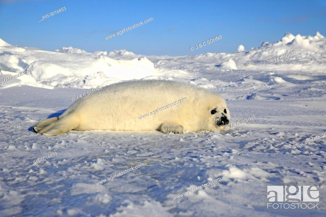 Stock Photo: Harp Seal, Saddleback Seal, (Pagophilus groenlandicus), Phoca groenlandica, seal pup on pack ice, Magdalen Islands, Gulf of St.