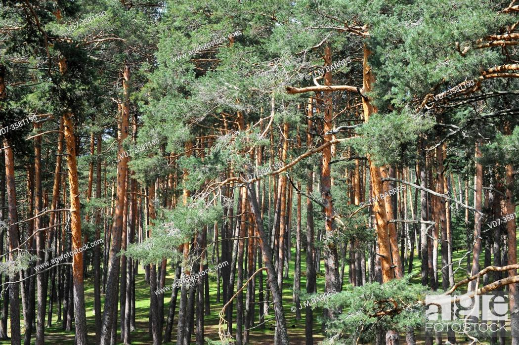 Stock Photo: Pinar de Valsain (Pinus sylvestris). Segovia province, Castilla y Leon, Spain.
