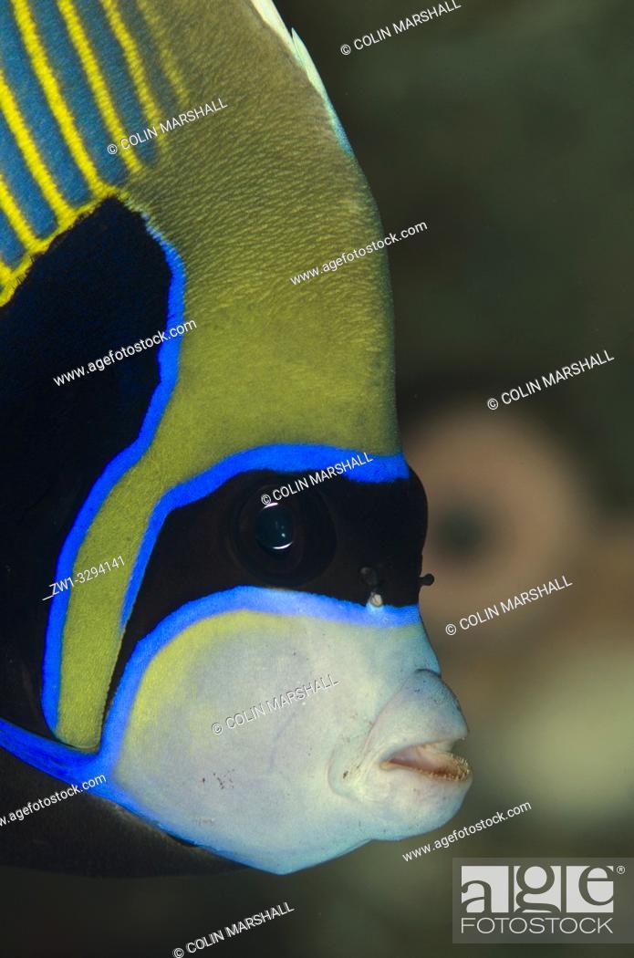 Imagen: Emperor Angelfish (Pomacanthus imperator), Dropoff dive site, Seraya, near Tulamben, Bali, Indonesia.