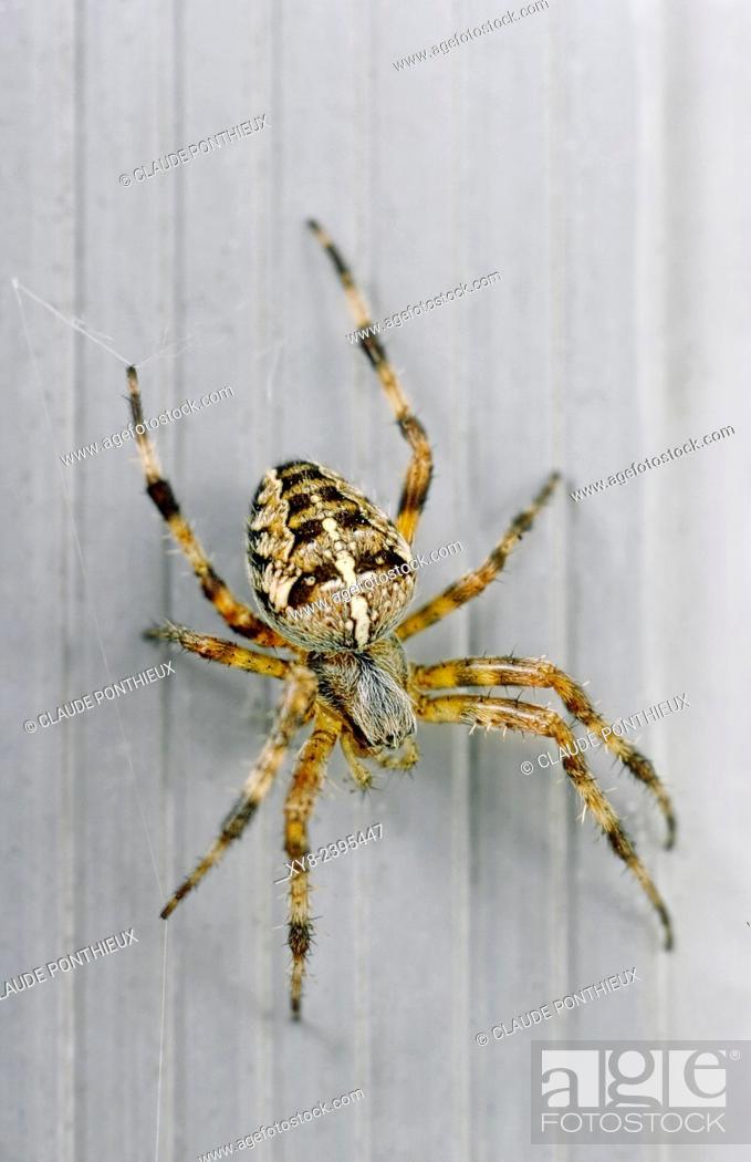Stock Photo: Garden spider, Araneus diadematus.