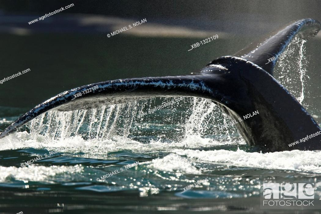 Photo de stock: Adult humpback whale Megaptera novaeangliae fluke-up dive in the middle of a group of bubble-net feeding humpback whales  Chatham Strait in Southestern Alaska.