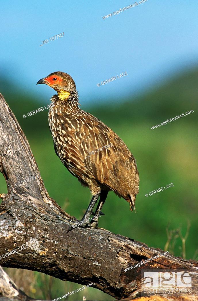Stock Photo: Yellow-Necked Spurfowl, francolinus leucoscepus, Adult, Kenya.