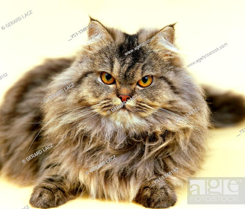 Stock Photo: BROWN TABBY PERSIAN DOMESTIC CAT, ADULT RESTING.