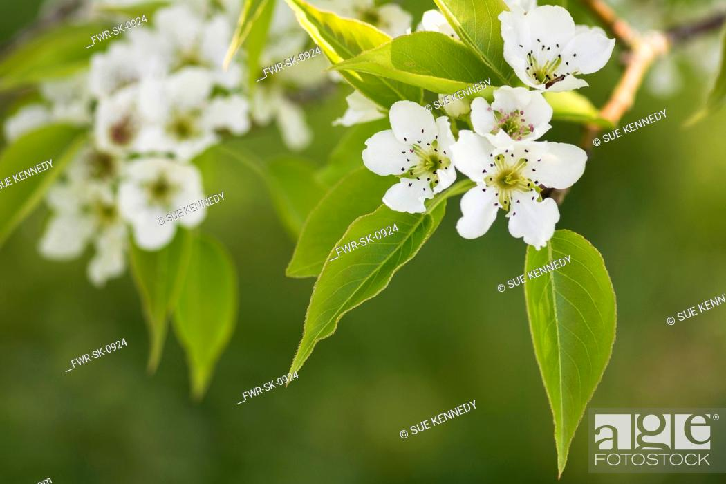 Imagen: Pear, Le Conte pear Pyrus x lecontei, Tiny white blossoms grbowing outdoor.