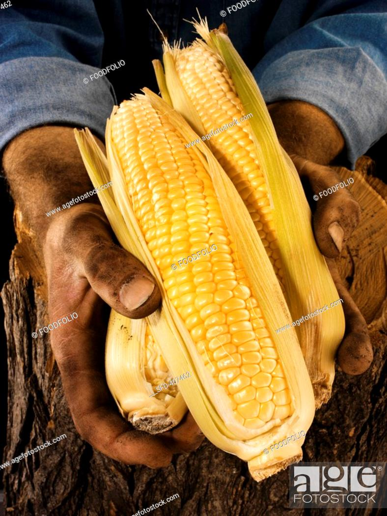 Stock Photo: Man holding three corn cobs in both hands over a tree trunk.