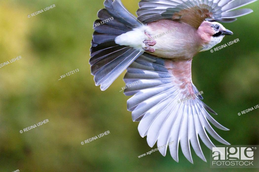 Stock Photo: Jay Garrulus glandarius, in flight, Lower Saxony, Germany.