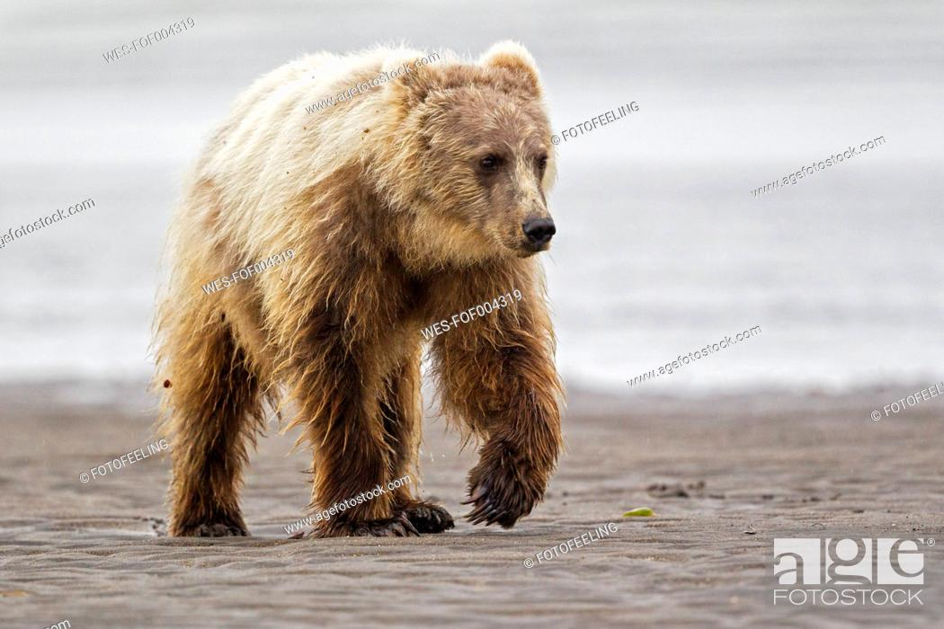 Stock Photo: USA, Alaska, Brown bear in Silver salmon creek at Lake Clark National Park and Preserve.