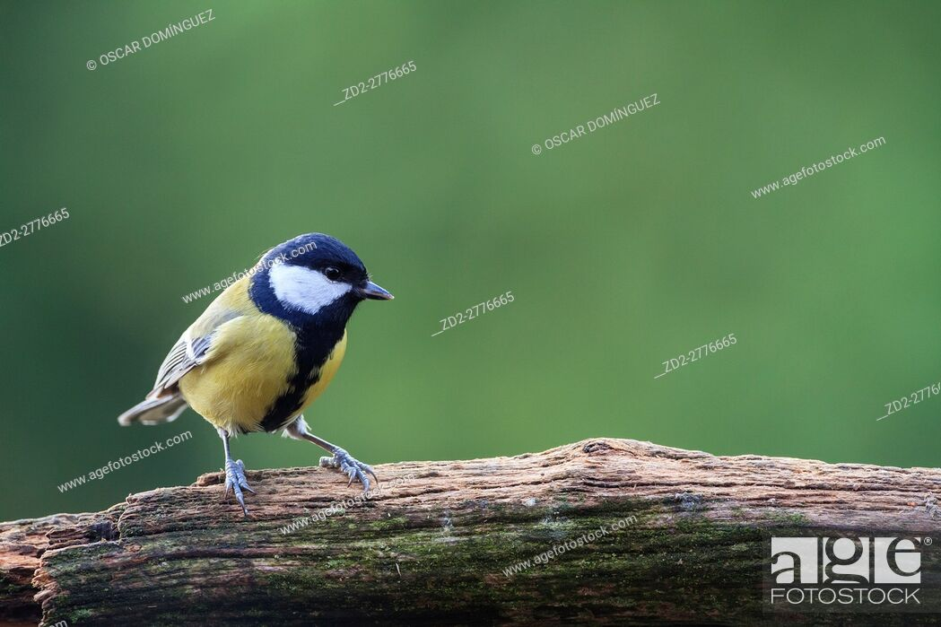 Stock Photo: Great Tit (Parus major) perched on trunk in a garden. Lower Silesia. Poland.