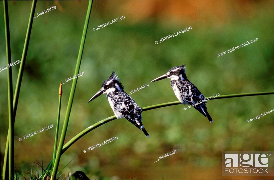 Stock Photo: Pied Kingfisher (Ceryle rudis). Kenya.