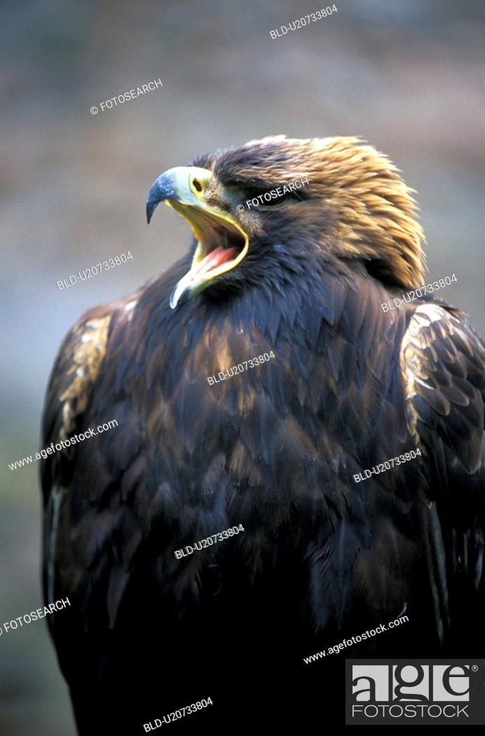 Stock Photo: Eagle close up.