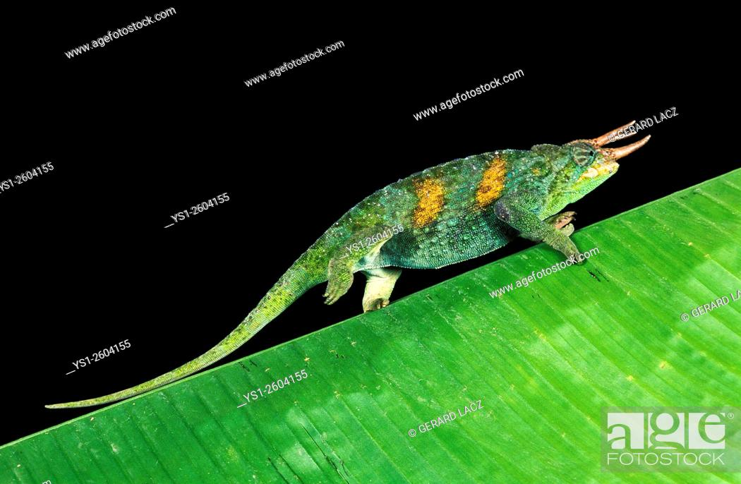 Imagen: Jackson's Chameleon, chamaeleo jacksoni, Male walking on large Leaf.