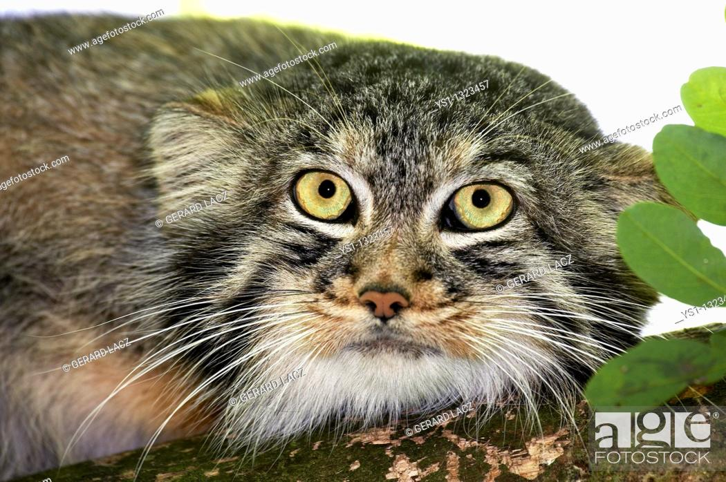 Stock Photo: MANUL OR PALLAS'S CAT otocolobus manul, HEAD OF ADULT.