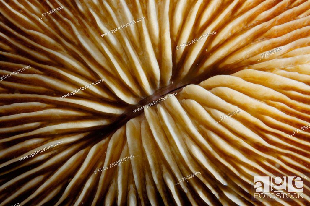 Stock Photo: Mushroom coral detail (Fungia sp.). Ha'apai Group. Tonga. South Pacific Ocean.