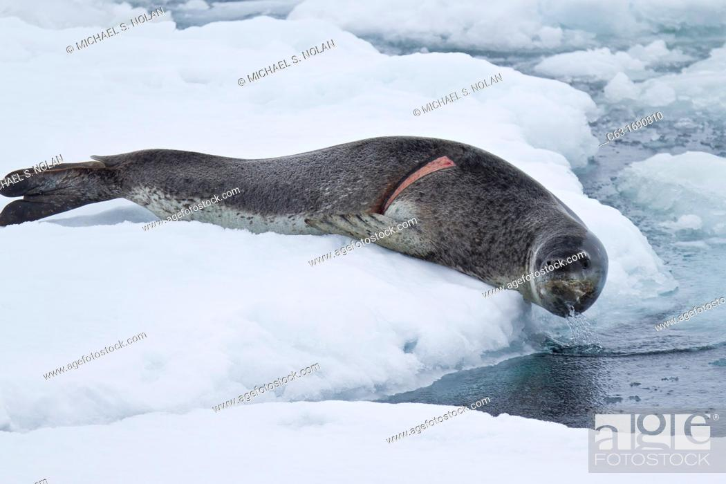 Stock Photo: Adult leopard seal Hydrurga leptonyx hauled out on ice floe note the fresh wound on the right side of body at Dorian Bay near the Antarctic Peninsula.