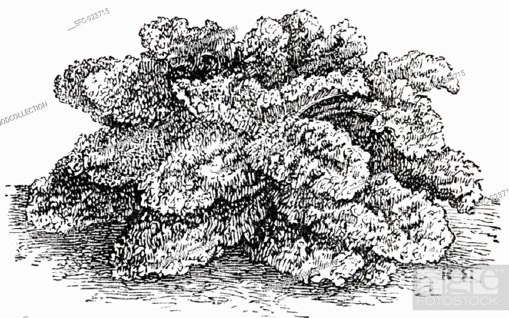 Stock Photo: Curly kale (illustration).