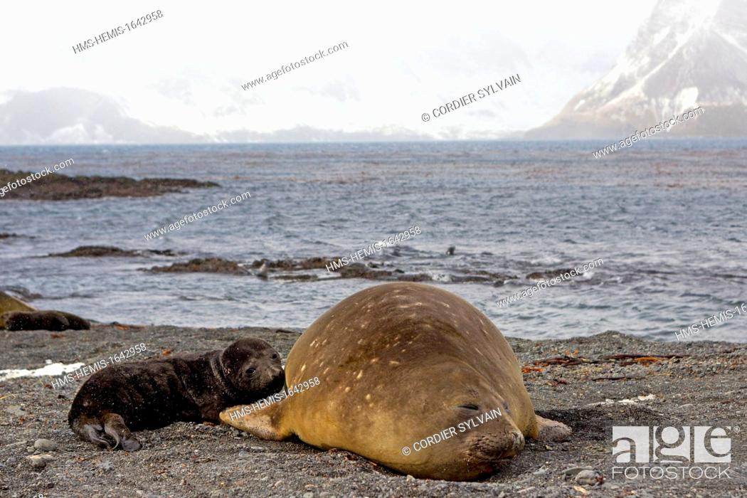 Stock Photo: Antarctic, South Georgia Island, Prion Island, Southern Elephnat Seal (Mirounga leonina), mother and new born baby.