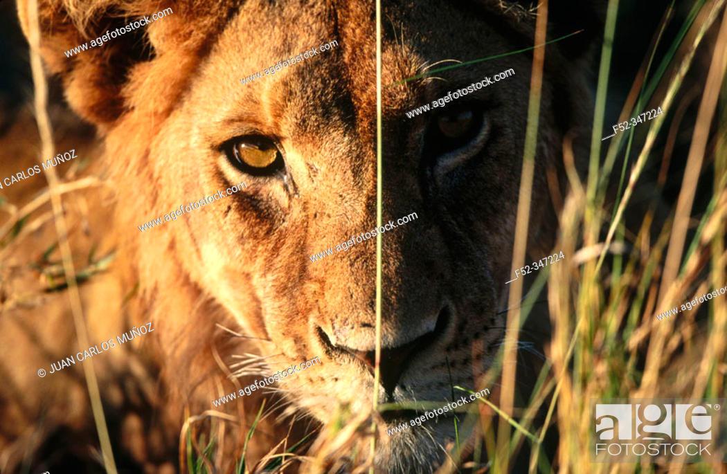 Stock Photo: Lion (Panthera leo).