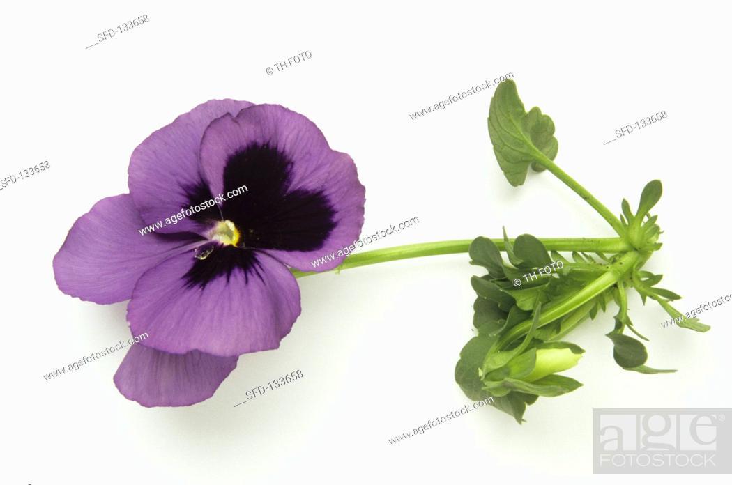 Stock Photo: A purple pansy.