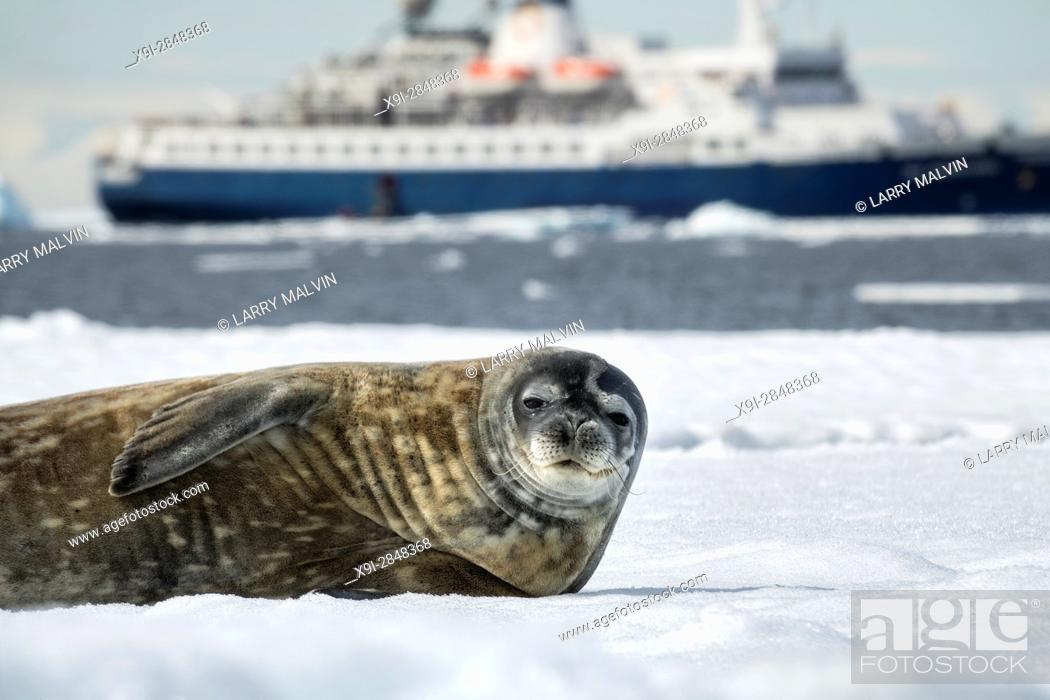 Imagen: Crabeater seal on an iceberg with the Sea Adventurer cruise ship in the background.