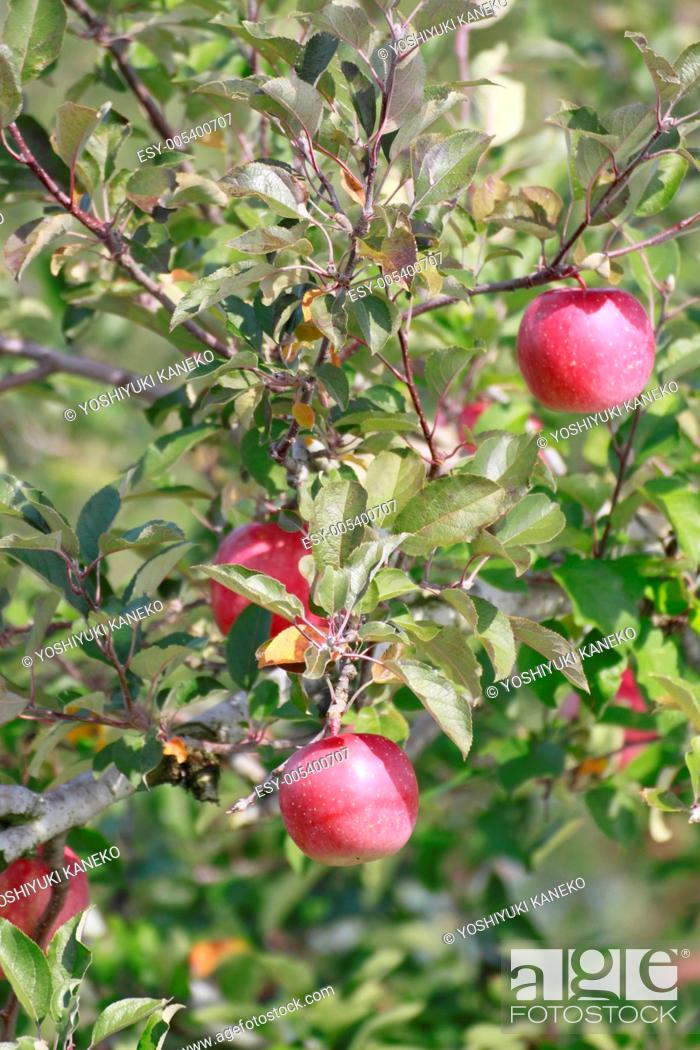 Stock Photo: Red apples on apple tree branch.