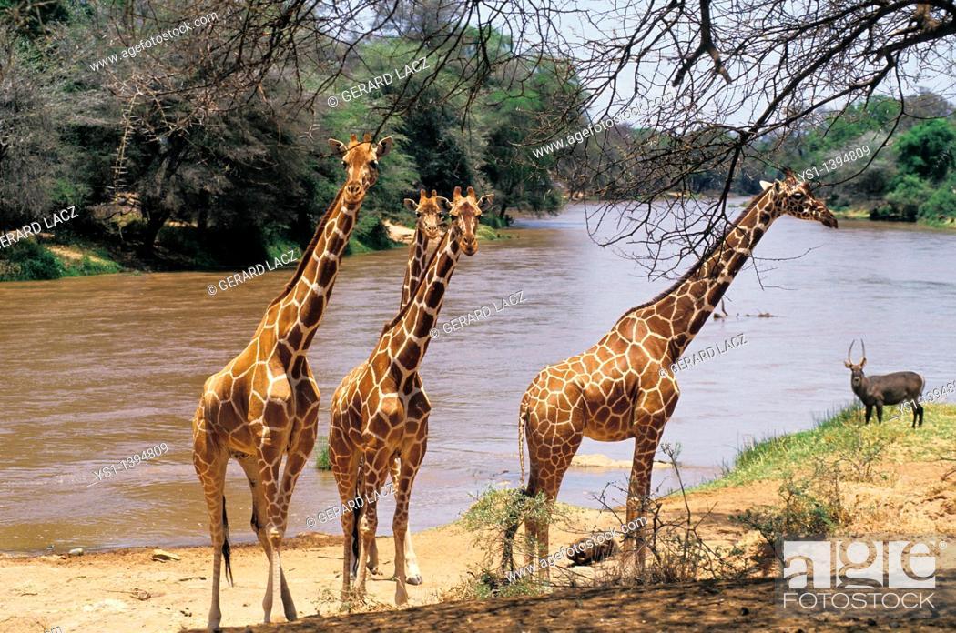 Stock Photo: Reticulated Giraffe, giraffa camelopardalis reticulata, Group standing near River, Samburu Park in Kenya.