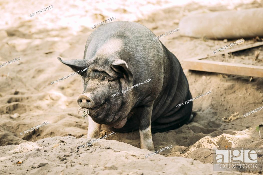 Stock Photo: Large Black Pig Sitting In Sand In Farm Yard. Pig Farming Is Raising And Breeding Of Domestic Pigs. It Is A Branch Of Animal Husbandry.