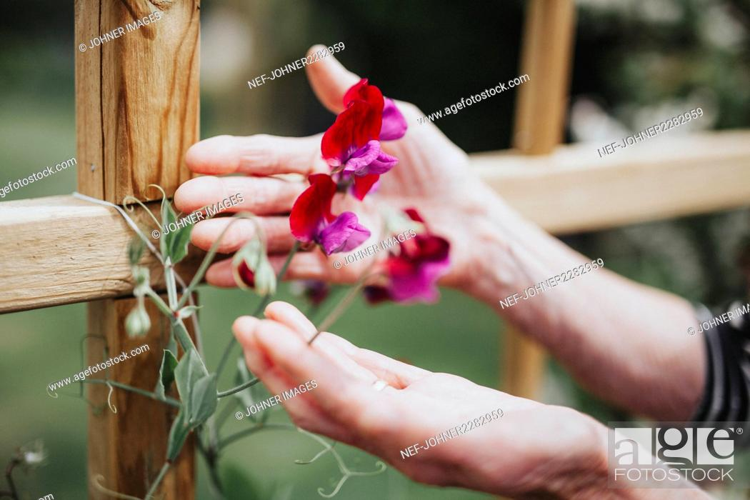 Stock Photo: Hands with sweet pea flowers.