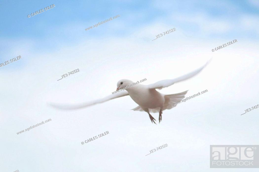 Imagen: Dove flying.