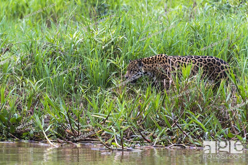 Imagen: Jaguar (Panthera onca), Cuiaba River, Pantanal, Mato Grosso, Brazil.