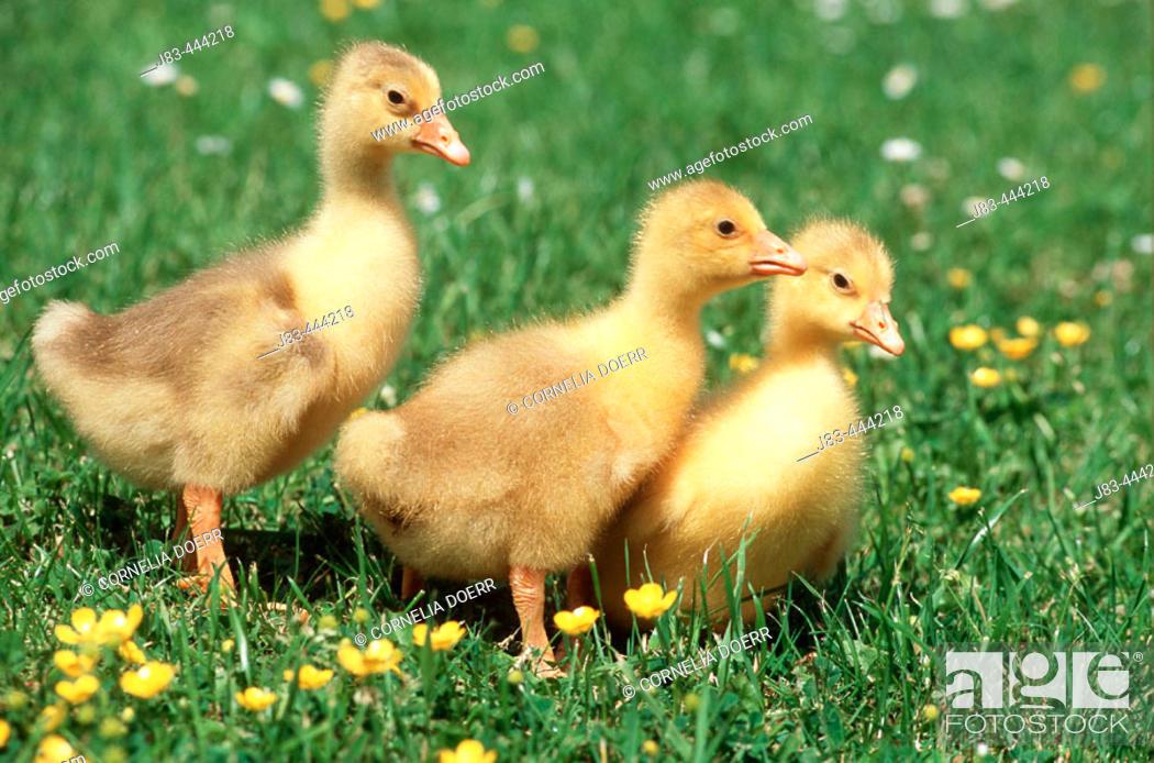 Stock Photo: Domestic Goose, Gosling.