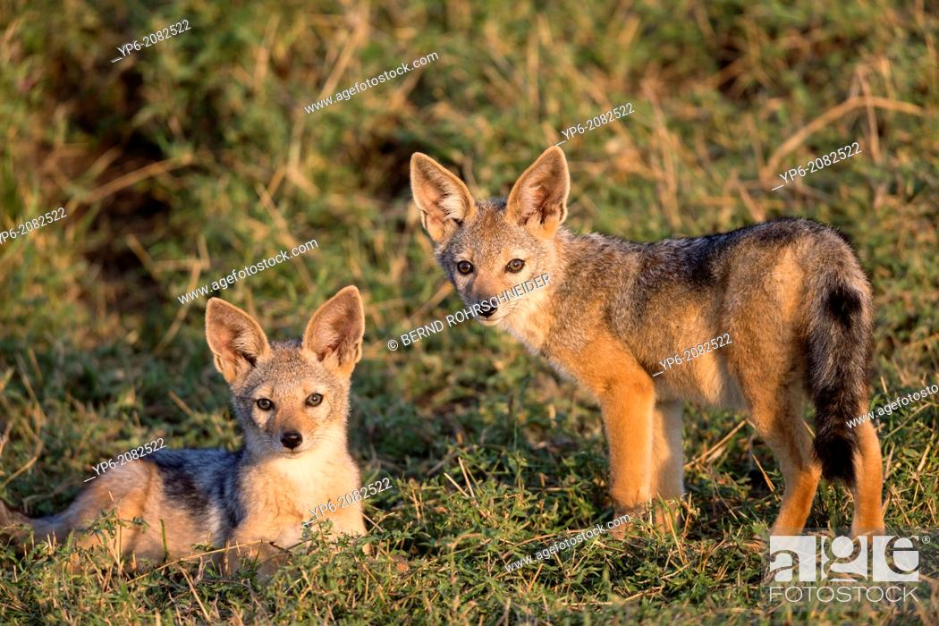 Stock Photo: young Black-backed Jackals (Canis mesomelas) in savannah, Masai Mara, Kenya.