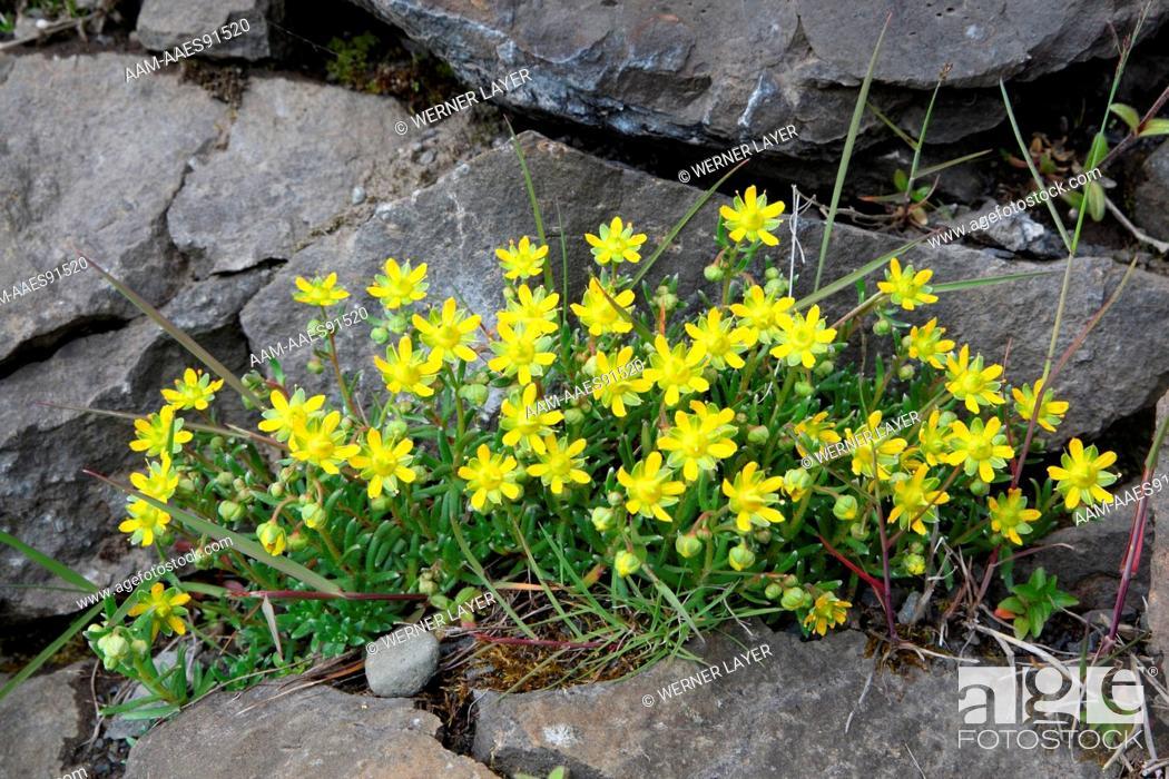 Stock Photo: Saxifrage (Saxifraga petraea).