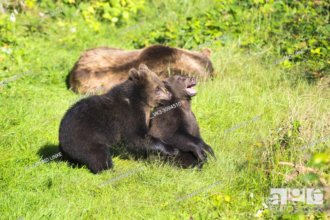 Imagen: European Brown Bears, Ursus arctos, Two cubs playing on meadow, Bavaria, Germany.